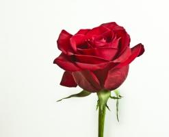 perfect_rose_516082